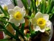 Vẻ đẹp của những loài hoa tượng trưng cho năm mới